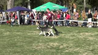 """Сибирские хаски (Husky) - областная выставка собак """"Сумы-осень 2015"""""""