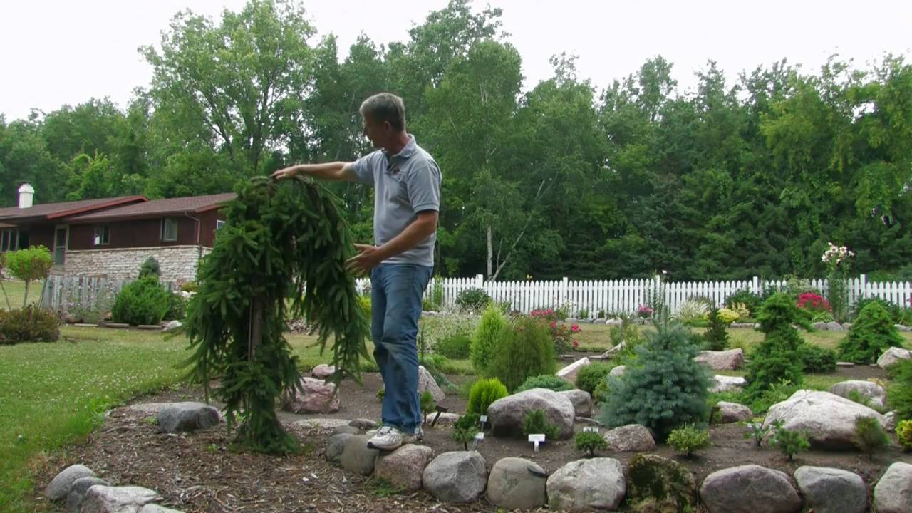 landscaping with conifers rose-hill