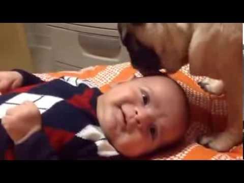 Pug licking baby
