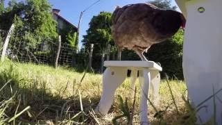 KYO & Sửng sốt chú gà chơi đàn sành điệu như nghệ sỹ