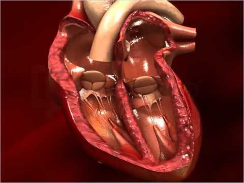 Structure of Human Heart - Class 10