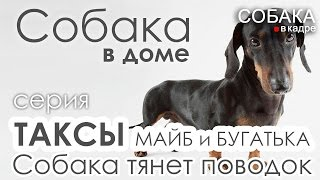 Такса. Собака тянет поводок. Собака в доме.