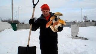 Ростим белые грибы зимой