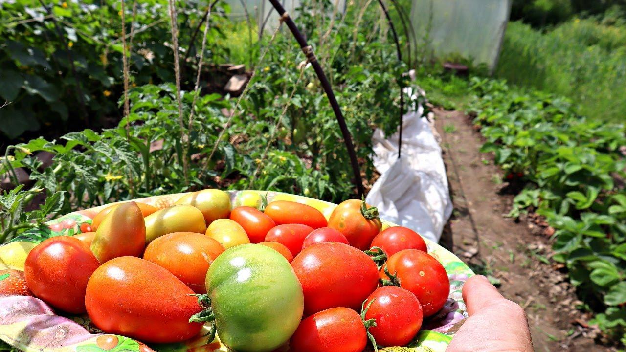 Сделайте это с томатами в августе и собирайте плоды до первых заморозков! Уход за томатами август.
