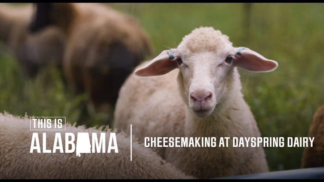 Cheesemaking at Dayspring Dairy   This is Alabama