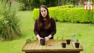 How to grow Runner Beans with Thompson & Morgan.
