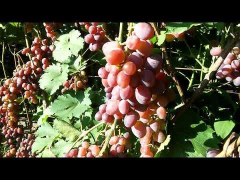 "Сорт винограда""Виктория"""