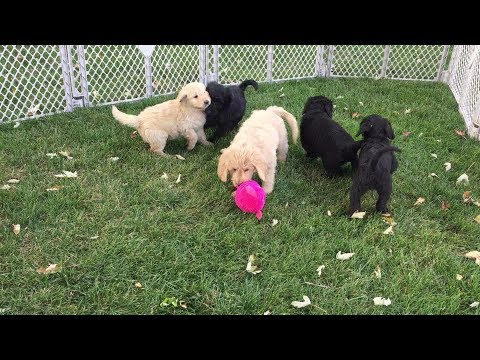 Labradoodle Goldendoodle Puppies Available Terry Farm