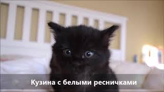 Котята курильского бобтейла (1 месяц).