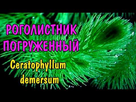 РОГОЛИСТНИК ПОГРУЖЕННЫЙ. Ceratophyllum demersum