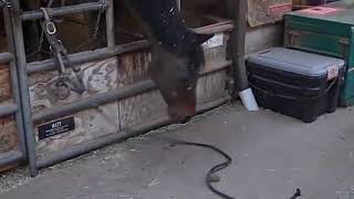 Horse Uses Rope to Get Treat - 1012522