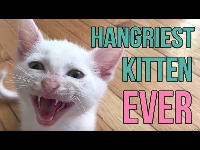 Hangriest Kitten EVER