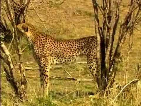 Мир животных - хищники (Львы, гепарды, леопарды)