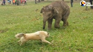 Baby Elephant Chases Dog | The Dodo