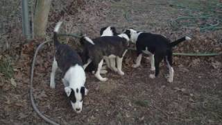 Boston Terrier / Border Collie Pups