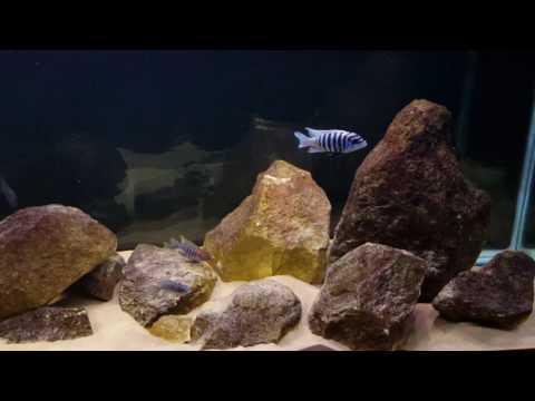 Metriaclima Zebra Chilumba Maison Reef/ African Cichlid Mbuna Aquarium