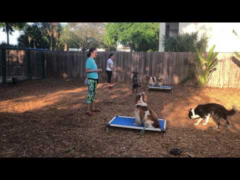 Welsh Springer Spaniels | Family Dogs in Training