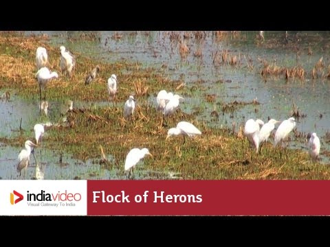 Flock of herons in paddy fields of Kuttanad