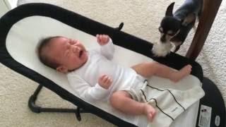 バウンサーで泣いている赤ちゃんにチワワが寄ってきて自分のお気に入り...
