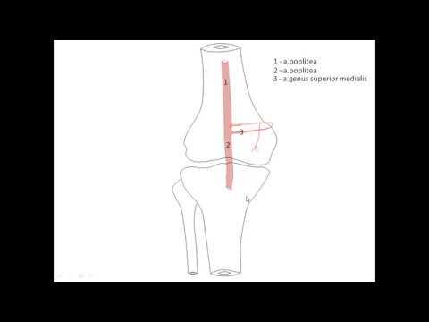 Артерии нижней конечности, лекцию читает профессор Изранов, для студентов медиков