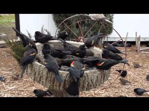 Red-winged blackbirds vs doves. Blackbirds take over at 4 min.