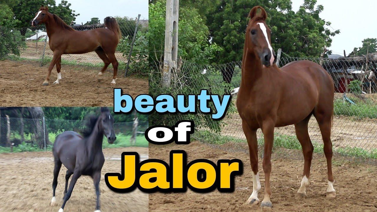 Good presentation of Jalor belt Mare