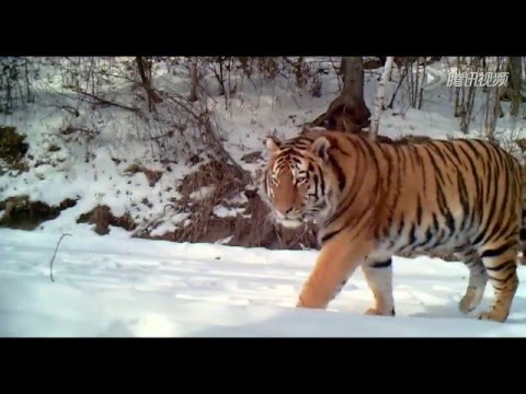 Rare Footage of Wild Siberian Tiger Captured in NE China