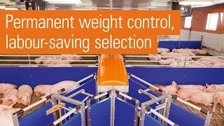 Automatic pig sorting scale | TriSortpro