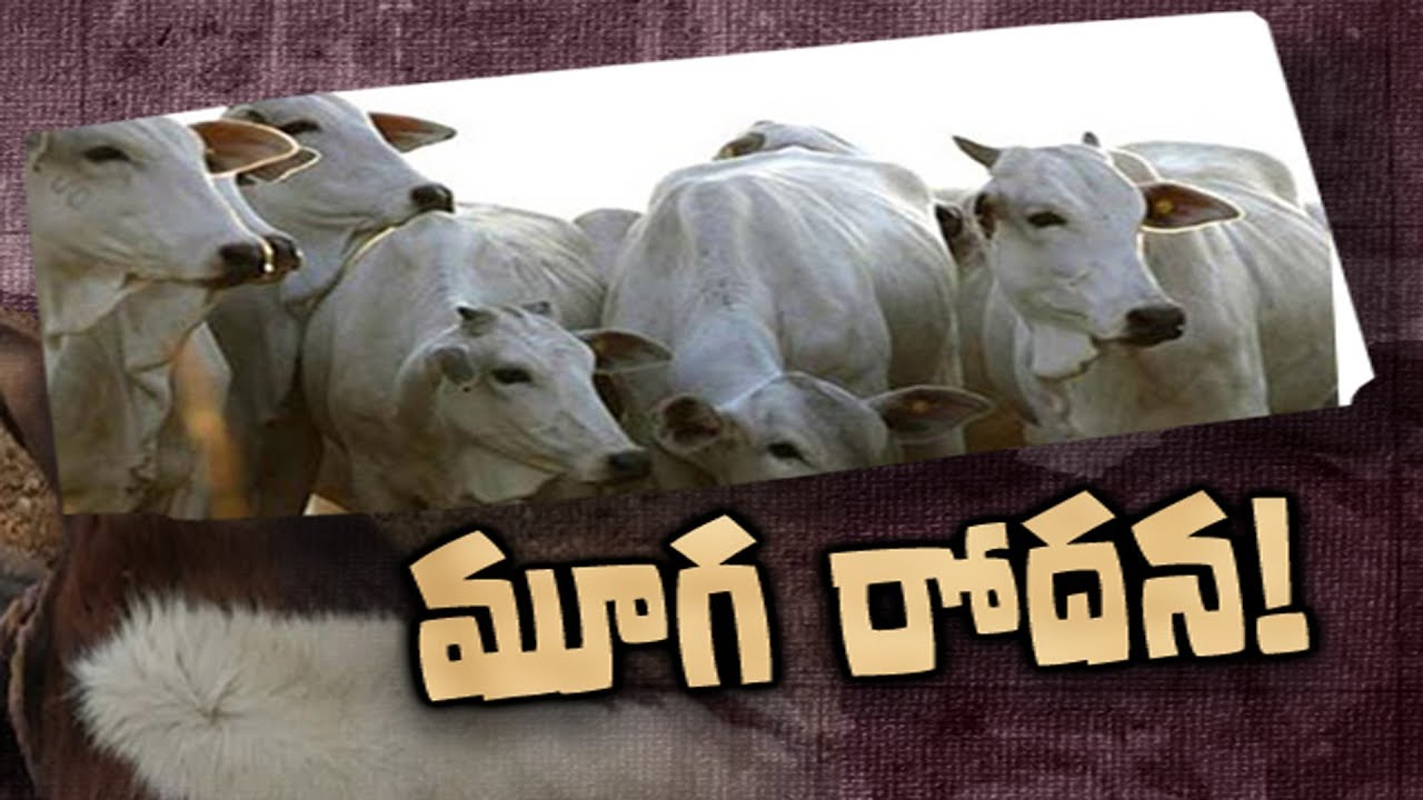 100 cows die of suspected toxicity | Sakshi Magazine Story - 13th August  2019