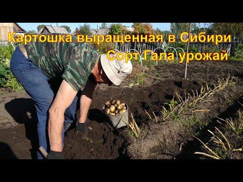 Картошка сорт Гала выращенная в Сибири Урожай 2020 Картофель | выращенная | картофеля | картофель | урожай_2020 | картошка | жареная | духовке | сибири | огород | клубни