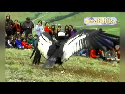 Video Pelepasan Burung Raksasa | Melepas Burung Raksasa Ke Alam Liar
