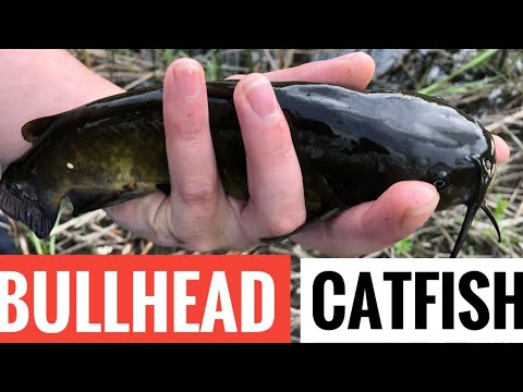 How To Catch BULLHEAD CATFISH (fishing The Bottom For Brown Bullhead)