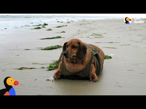 Obese Dachshund Loses 50 Pounds - OBIE | The Dodo