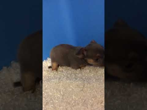 Blue and tan chihuahua - Chihuahua Puppy