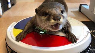 カワウソさくら 夏の自由研究!VANiGOロボット掃除機と戯れる Otter and robot vacuum cleaner