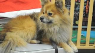 Adopt A Pomeranian Today!