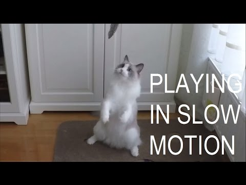 Playing in Slow Motion - Jeremy the Ragdoll Cat