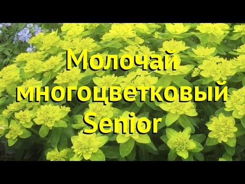 Молочай многоцветковый Сениор. Краткий обзор, описание характеристик euphorbia polychroma Senior