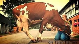 [Inteligentne zwierzęta] Czy krowy potrafią myśleć?