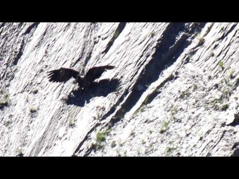 young bearded vulture learns to fly - 1st day . Gypaète barbu 1er jour de vol