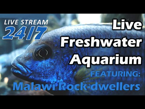 NEW BABY CICHLID TANK! - Freshwater Aquarium Streamed Live 24/7