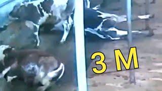 فيديو لذوي القلوب القوية !!! حيوانات تصعق بالكهرباء