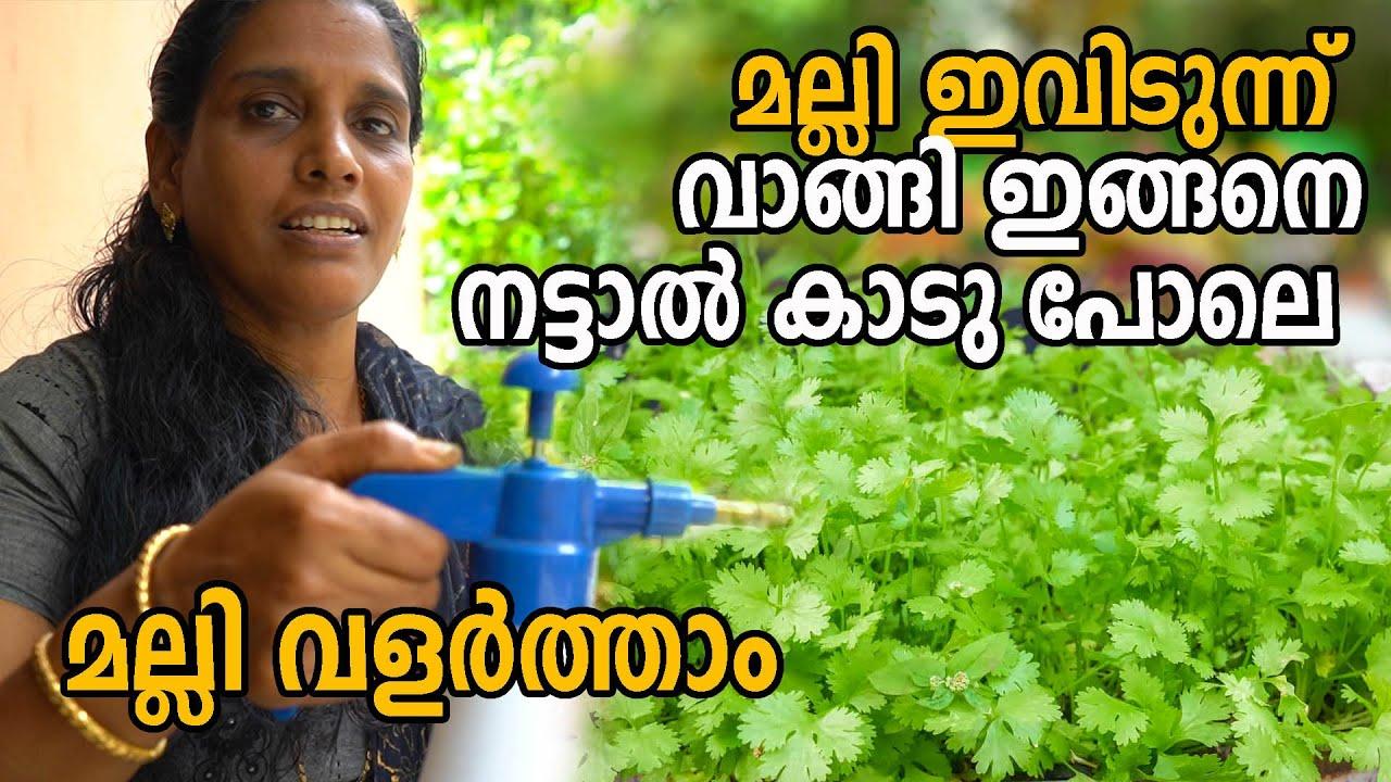 മല്ലി  ഇങ്ങനെ നട്ടാൽ കാടു പോലെ മല്ലി കൃഷി | Malli Krishi | Coriander farming