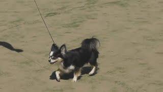 чихуахуа окрас черный, видео с выставки собак