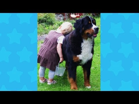 Bernese Mountain Dog caring for the Baby - Dog Loves Baby Videos