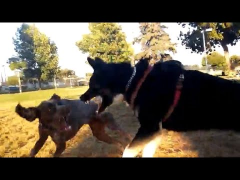 Incredible Battle Husky Shepherd vs German Shorthaired Pointer At Dog Park