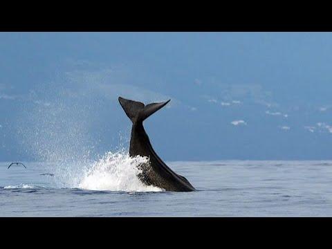 Vômito de baleia pode render mais de R$ 10,8 milhões a pescadores