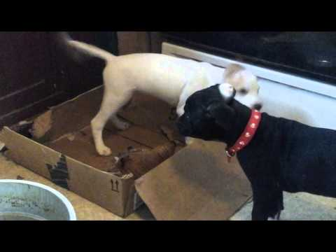 Doing what their breed does.  American bulldog mix