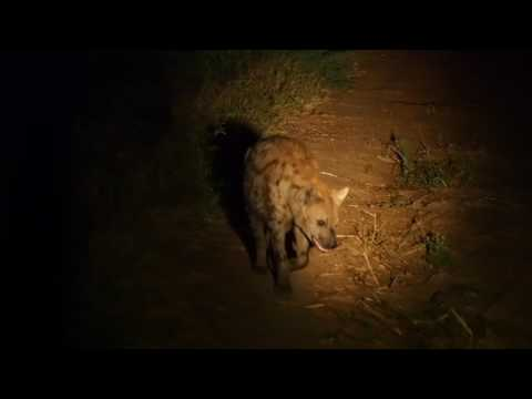 P3295709   Hyena in het donker South Luangwa NP