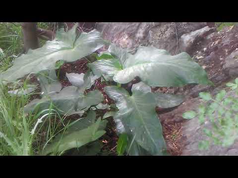 Yılan Yastığı Tirsik Ada Soğanı Gavur Pancarı Yılan Yastığı Tirsik Otunun Faydaları çayının Yararı